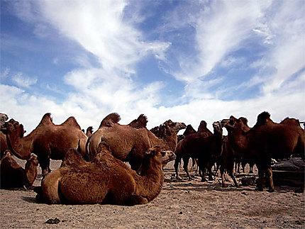 Repos des chameaux