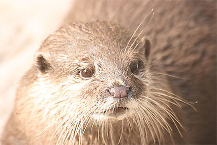 Loutre (Zoo de Copenhague)