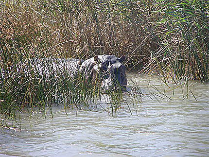 Hippopotames Estuaire de Ste Lucie