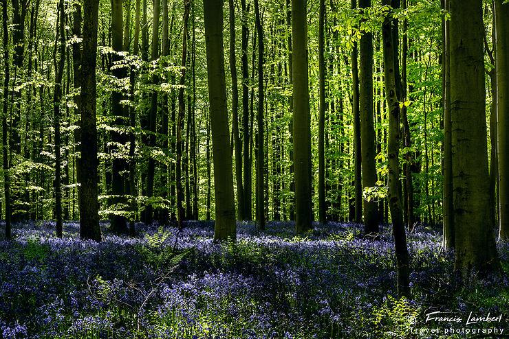 Forêt en Belgique