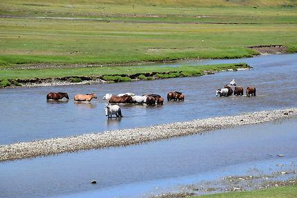 Chevaux s'abreuvant en Mongolie