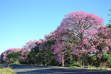 Route bordée de jacarandas