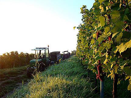 Vendange du pinot noir en Alsace