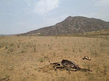 Squelette de dromadaire