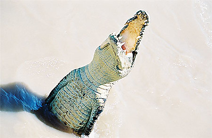 Un crocodile d'eau de mer ou Salti