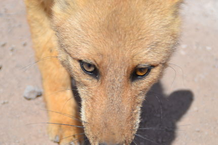 Les renards du Tatio