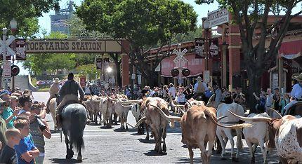 La parade des longHorns de Fort Worth