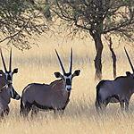 Oryx Kalahari
