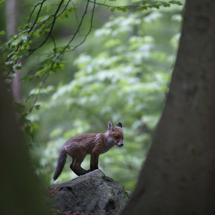 Renardeau dans la forêt, France