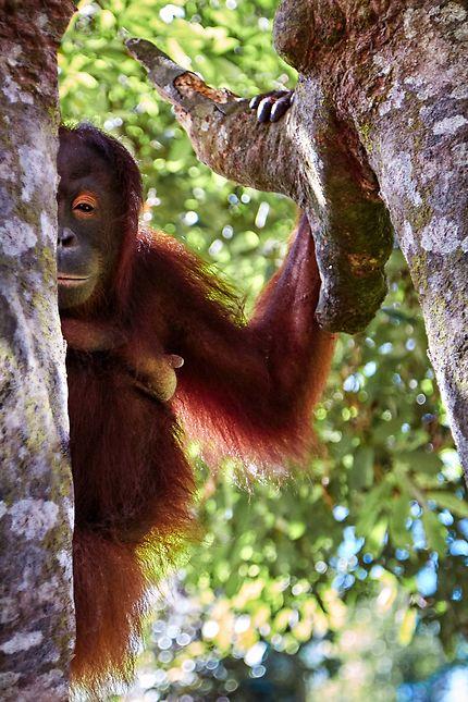 Orangs-Outangs à Bornéo