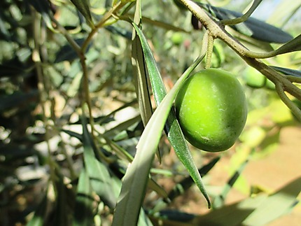 L'olive en Sicile