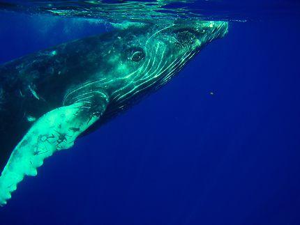 Bébé baleine à bosse