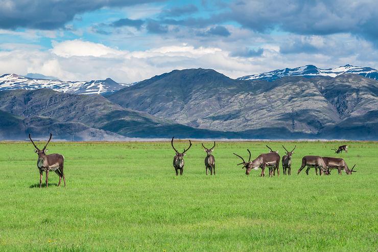 Troupeau de rennes à Vatnajökull, Islande