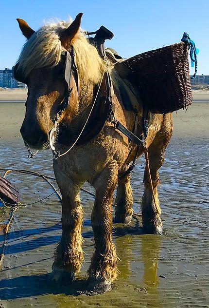 Le cheval pêcheur de crevettes