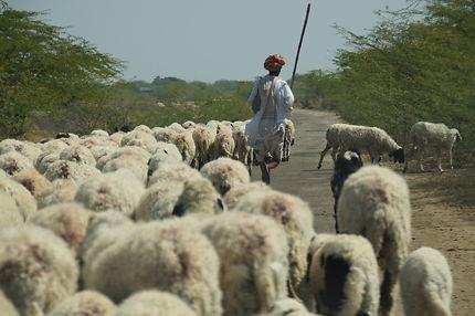 Berger et son troupeau au Rajasthan