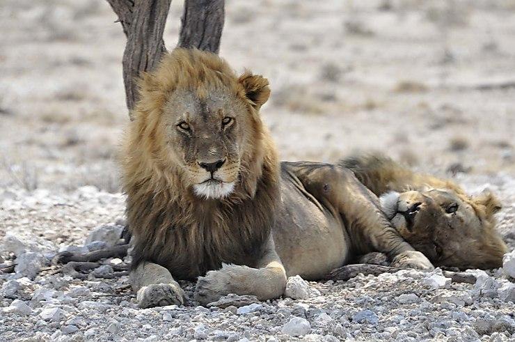 Réserve d'Etosha, Namibie