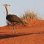 Outarde du Kalahari