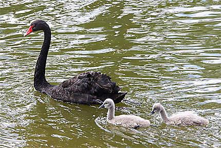 Cygne noir et ses bébés