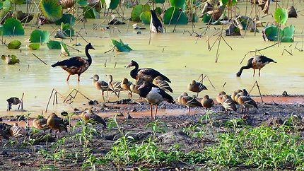 Oiseaux au Mamukala Wetlands