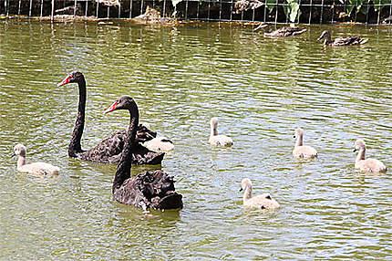 Cygnes noirs en famille