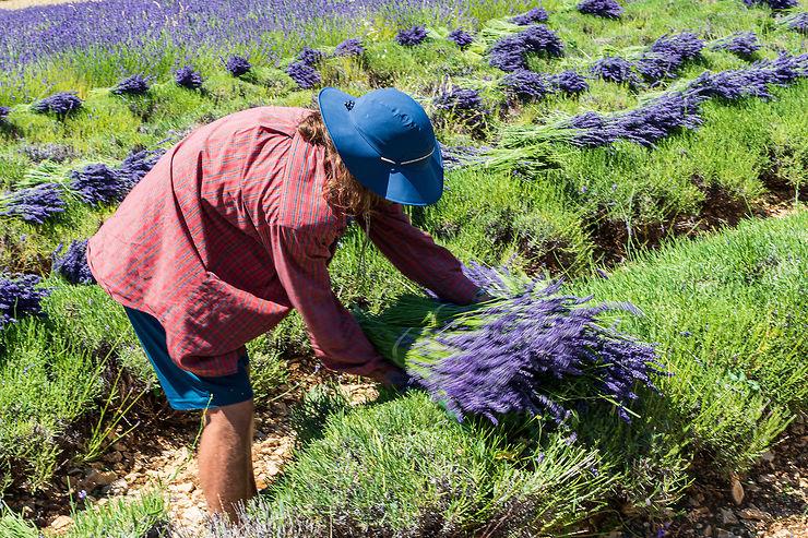En Provence, le pays de l'or bleu
