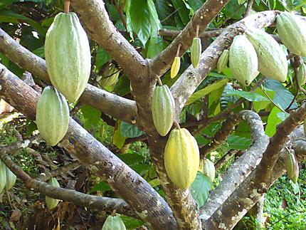Fèves de chocolat à Bali