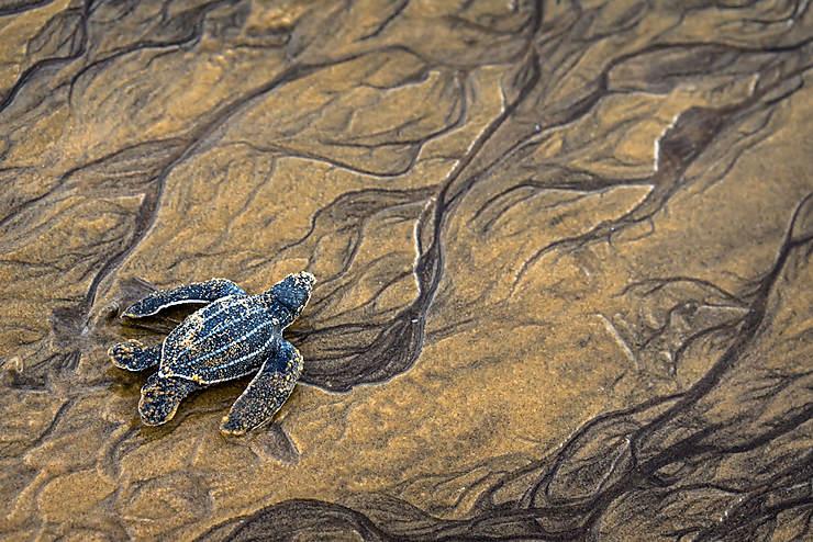 Sandy turtle, Guyane