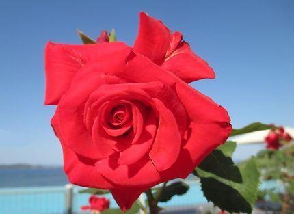 Rose à Oupanoupolis