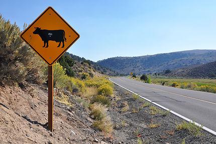 Traversée de vache à Bodie