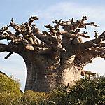 Soudain, un baobab