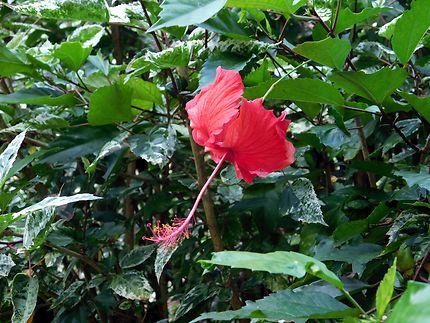 Hibiscus du Petit Bourg