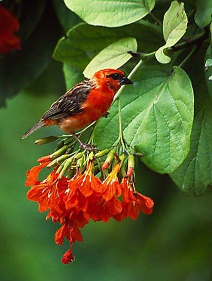cardinal et fleur cardinal