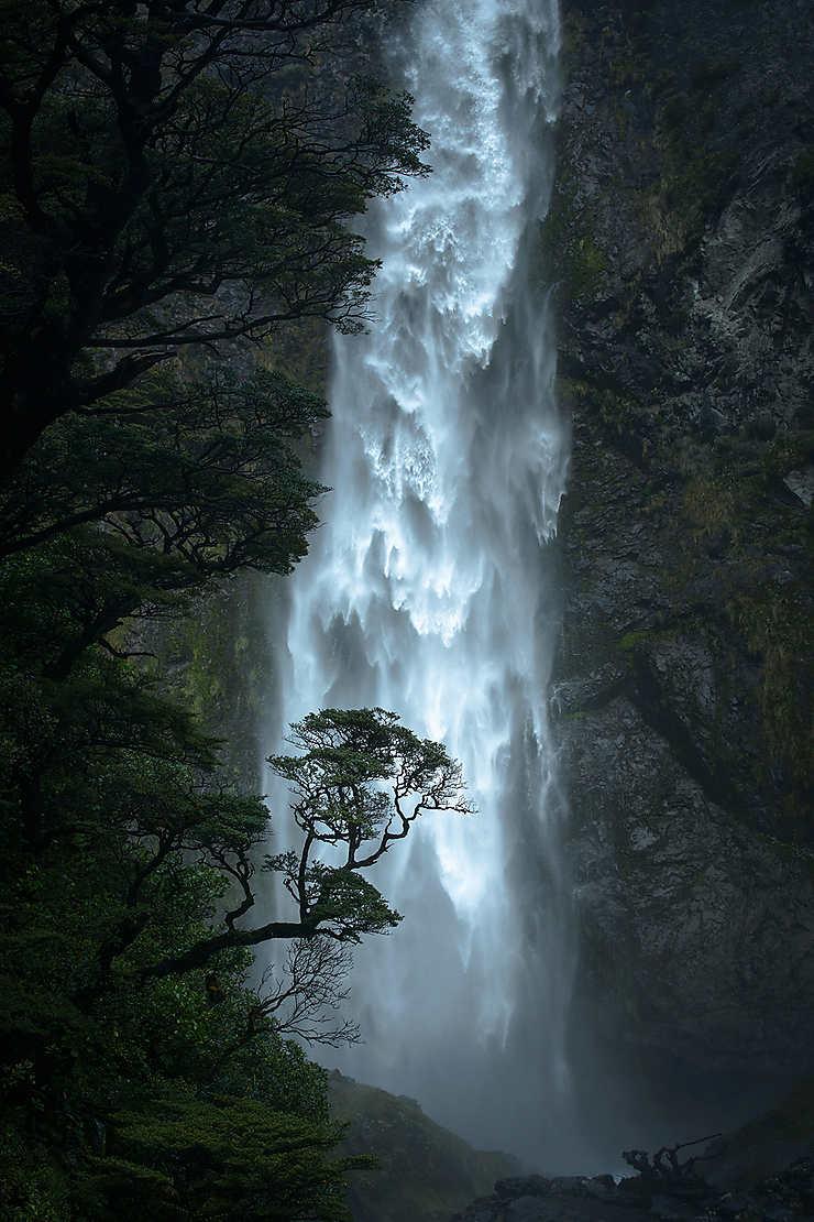 Hêtre noir, Nouvelle-Zélande