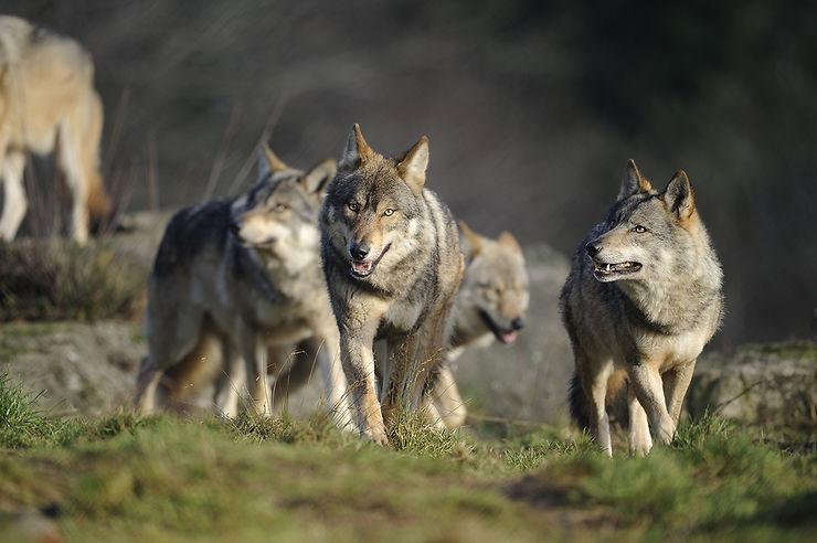 Voir les loups au parc de Chabrières
