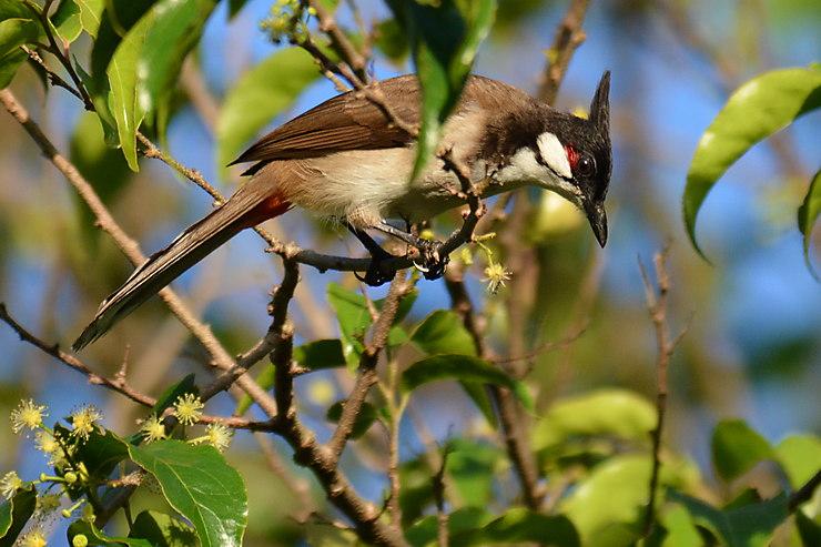 Bulbul orphée, Parc national de Virachey