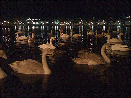 Les Cygnes Chanteurs du Lac Tjornin