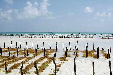 Culture des algues à Zanzibar