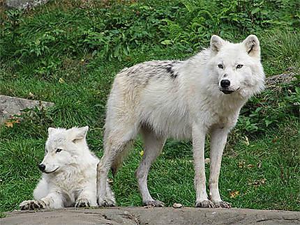 Loup polaire au parc Omega