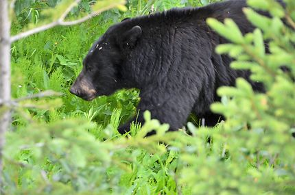 Ours dans le Jasper National Park