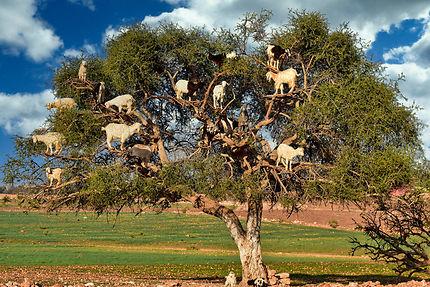 Chèvres sur les arbres