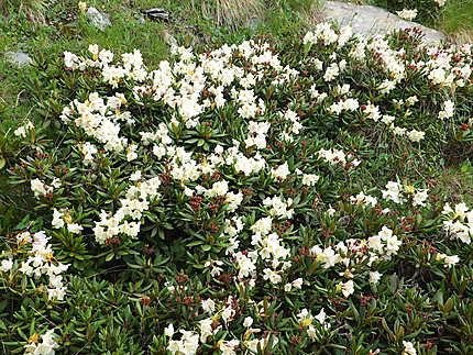 Prairies fleuries de Rhododendrons