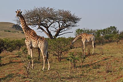 Des girafes dans le parc de Kruger