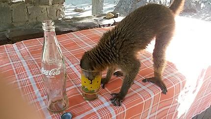 Le lémurien qui aimait le Coca