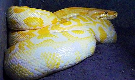 Python Albinos