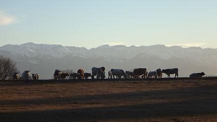 Vaches de Cerdagne à Estavar