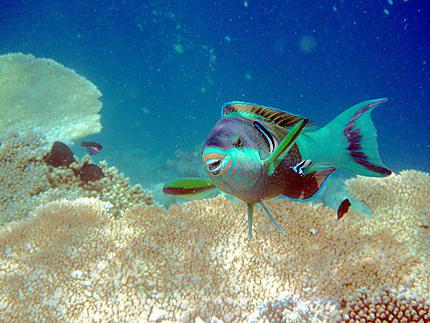 Sourire de poisson perroquet