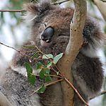 Un koala le long de la Great Ocean Road