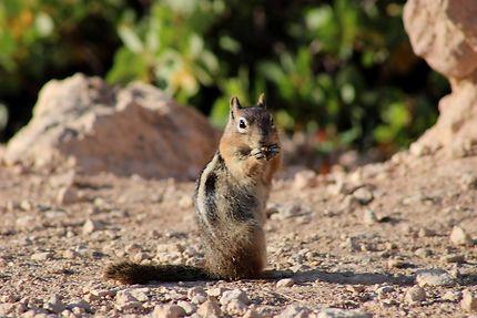 Petit curieux à Bryce Canyon