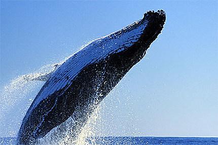 Saut de baleine blanche