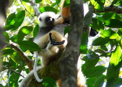 Indri-Indri à Antsirabe